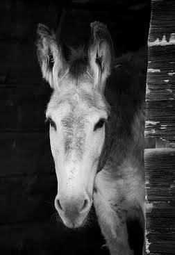 Barney (donkey)