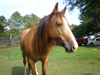 Shawnee (mustang mare)