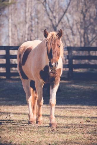 Sweetie Pie (mustang mare)